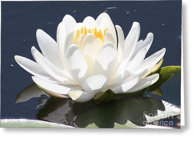 Sunlight On Water Lily Greeting Card by Carol Groenen
