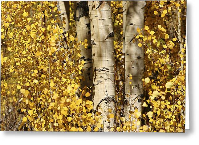 Sunlight Shines On Golden Aspen Leaves Greeting Card