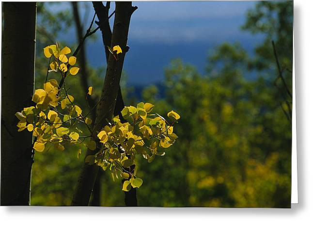 Sangre De Cristo Greeting Cards - Sunlight Shines On Golden Aspen Tree Greeting Card by Raul Touzon