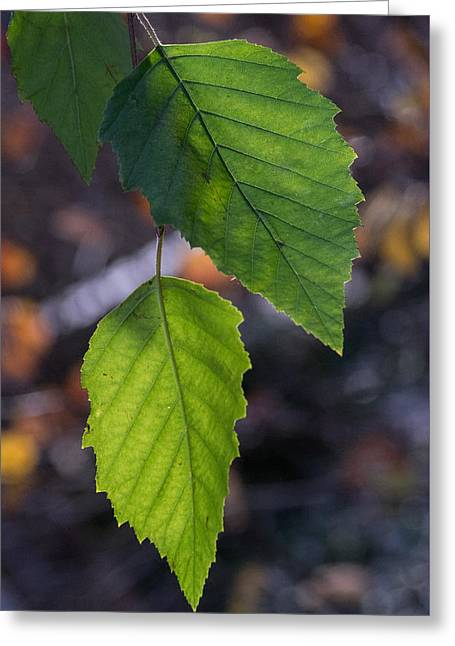 Sunlight Through Birch Leaf Branch Greeting Card