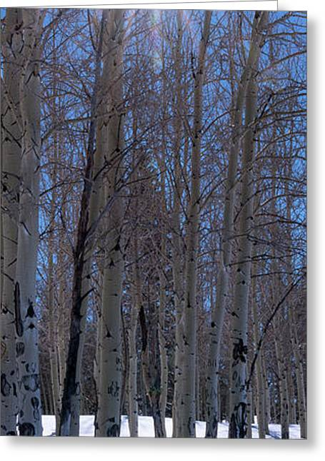 Sunlit Aspens Greeting Card by Mikes Nature