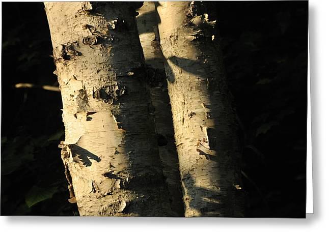 Sunlit Birch Greeting Card
