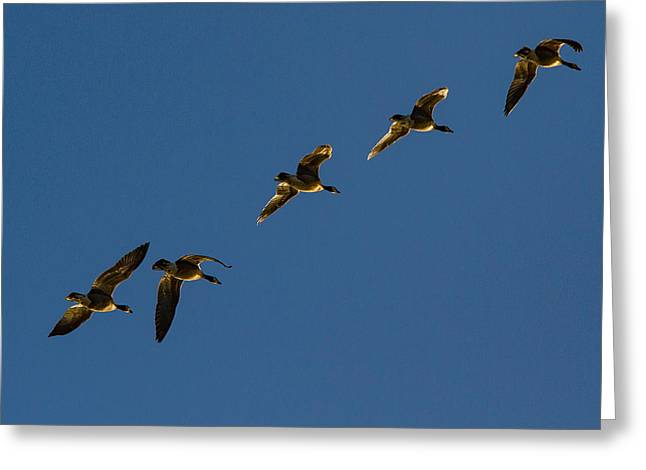 Sunlit Canada Geese In Flight Greeting Card