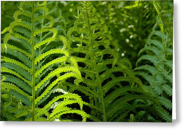 Greeting Card featuring the photograph Sunlit Fern by Mike Evangelist