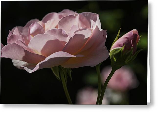 Sunlit Pink Beauty Greeting Card