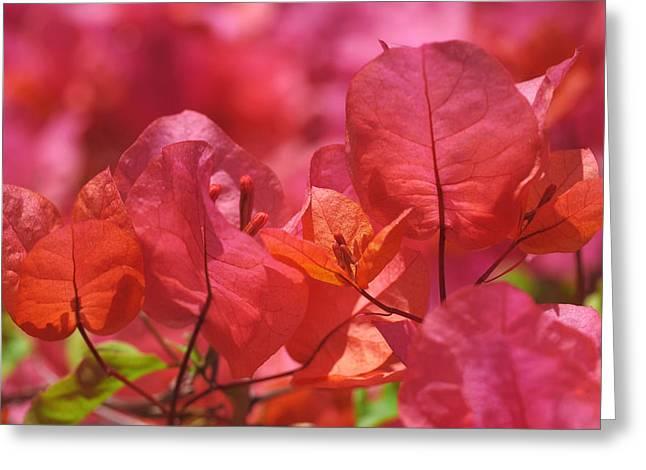 Sunlit Pink-orange Bougainvillea Greeting Card by Rona Black