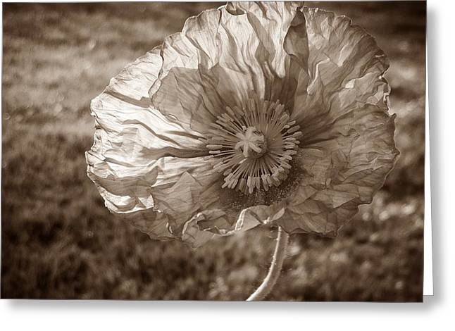 Sunlit Poppy Sepia Greeting Card by Chalet Roome-Rigdon