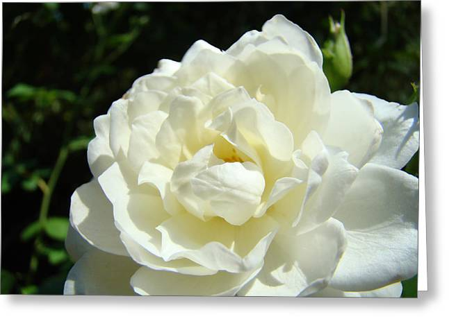 Sunlit White Rose Art Print Floral Giclle Print Baslee Troutman  Greeting Card by Baslee Troutman