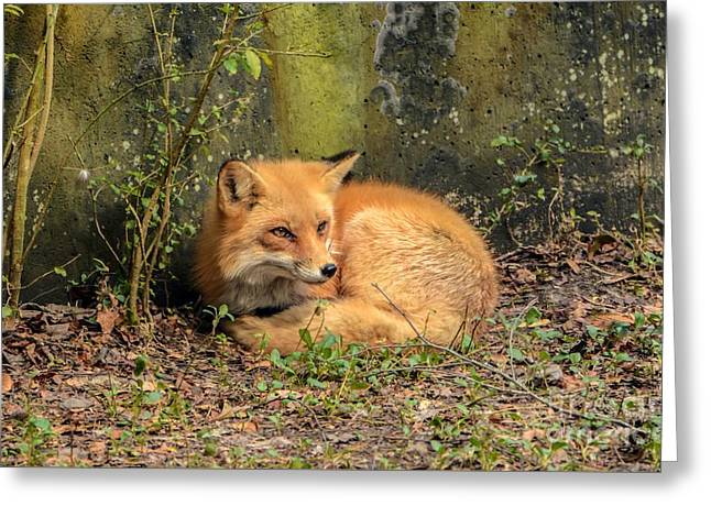 Sunning Fox Greeting Card