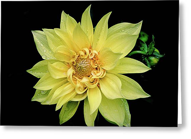 Sunny Dahlia Greeting Card by Julie Palencia