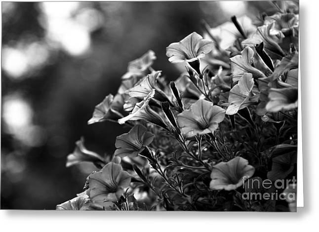 Sunny Petunias 1 Black And White Greeting Card by Marina McLain