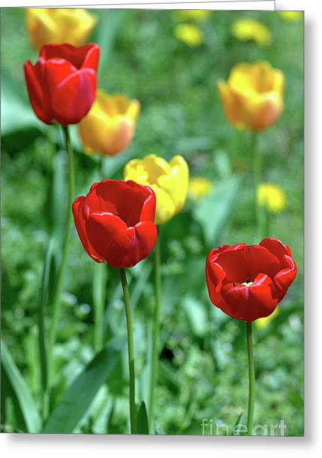 Sunny Tulips Greeting Card