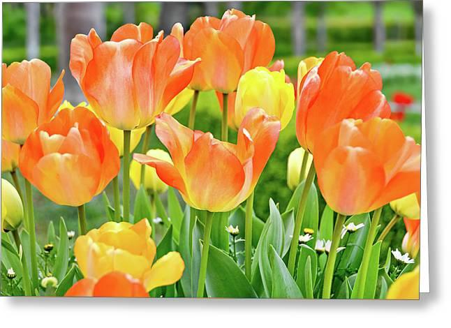 Greeting Card featuring the photograph Sunny Tulips by David Lawson