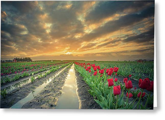 Greeting Card featuring the photograph Sunrise At Tulip Filed After A Storm by William Lee