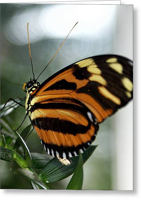 Sunrise Butterfly Greeting Card by Jean Haynes