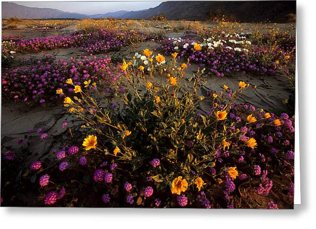 Sunrise On Desert Wildflowers Greeting Card by Tim Laman