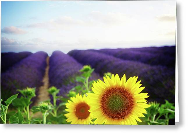 Sunrise Over Sunflower And Lavender Field Greeting Card by Anastasy Yarmolovich