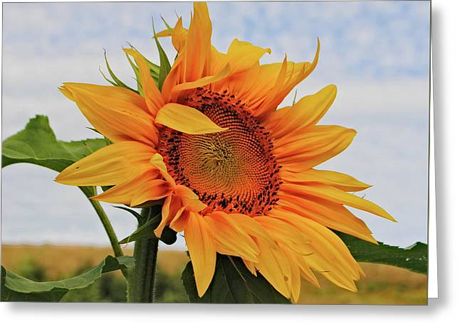 Sunrise Sunflower Greeting Card by Kathleen Sartoris