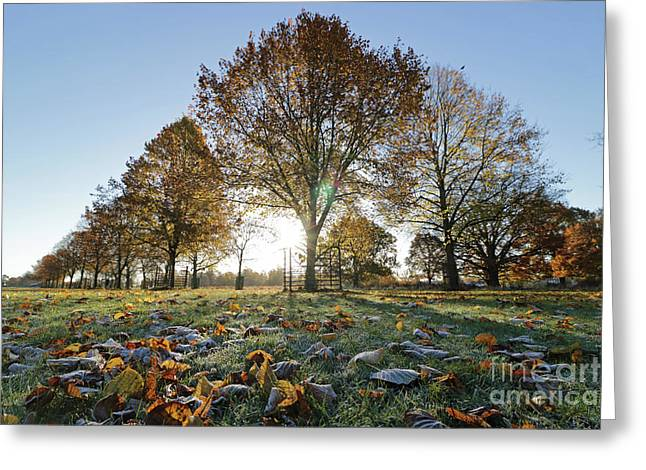 Sunrise Through Lime Trees Greeting Card