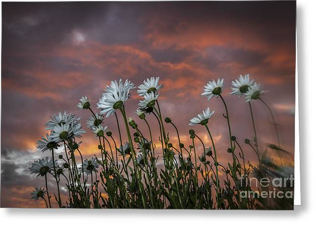 Sunset And Daisies Greeting Card