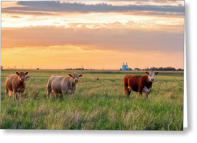 Sunset Cattle Greeting Card