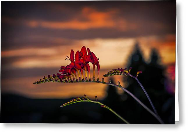 Sunset Crocosmia Greeting Card