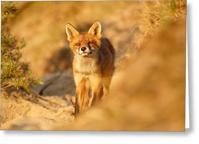 Sunset Fox Cub Greeting Card by Roeselien Raimond