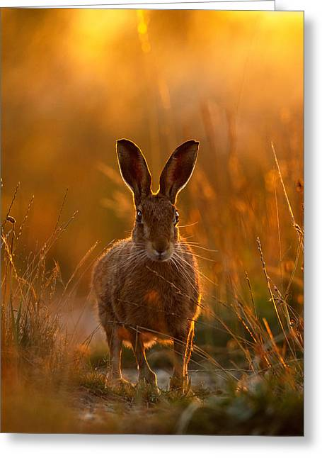 Sunset Hare Greeting Card
