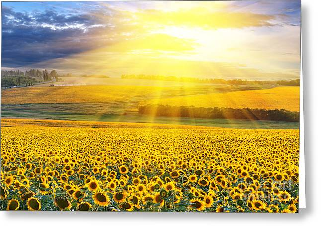 Sunset Over The Field Of Sunflowers Against A Cloudy Sky Greeting Card by Caio Caldas