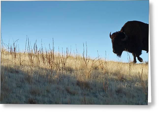 American Bison Greeting Cards - Sunset Ridge Greeting Card by John Blumenkamp