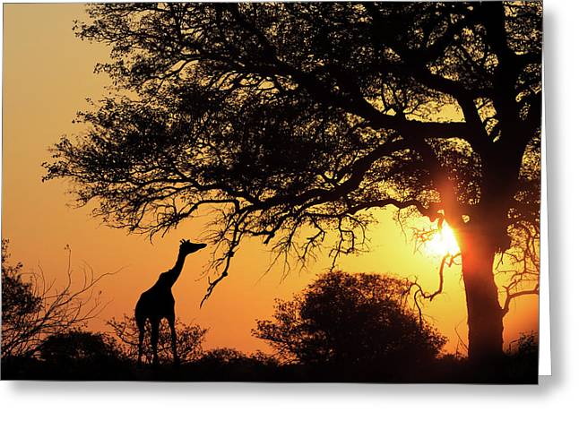 Sunset Silhouette Giraffe Eating From Tree Greeting Card by Susan Schmitz