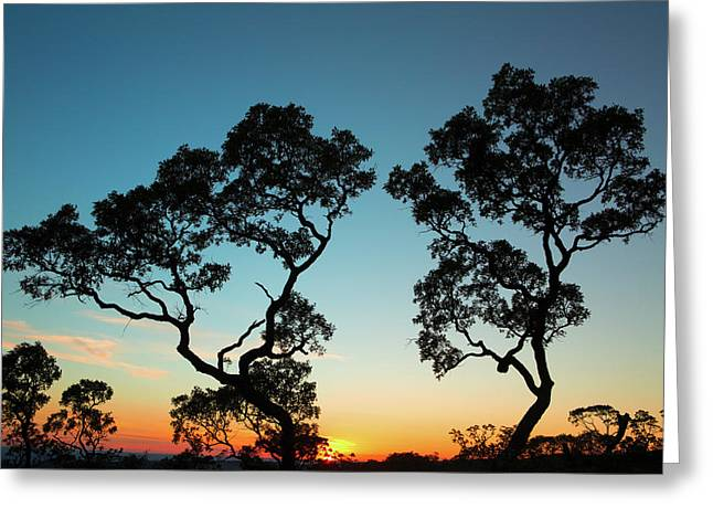 sunset tropical tree savanna Bolivia Greeting Card