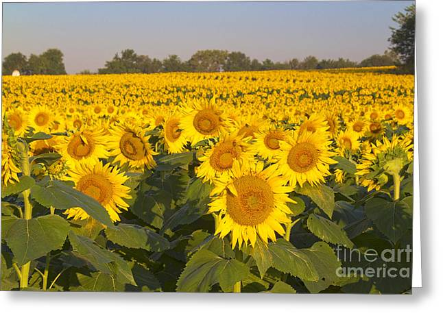 Sunshine Flower Field Greeting Card