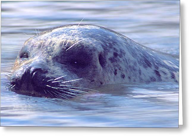Surfacing Seal Greeting Card by Greg Slocum