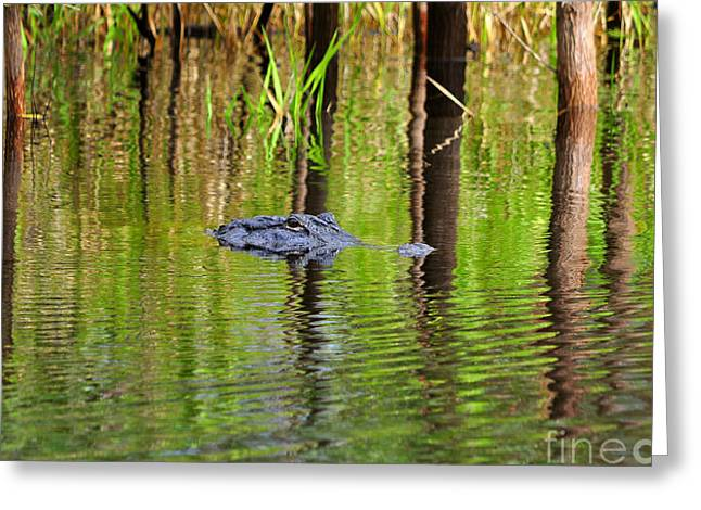 Greeting Card featuring the photograph Swamp Stalker by Al Powell Photography USA