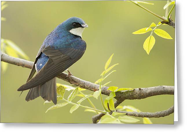 Swallow Greeting Card by Mircea Costina Photography