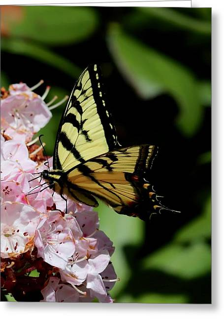 Swallow Tail On Mountain Laurel Greeting Card
