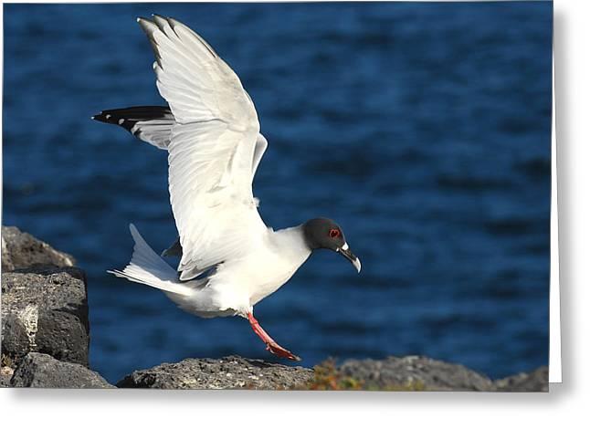 Swallow Tailed Gull Landing Greeting Card by Alan Lenk