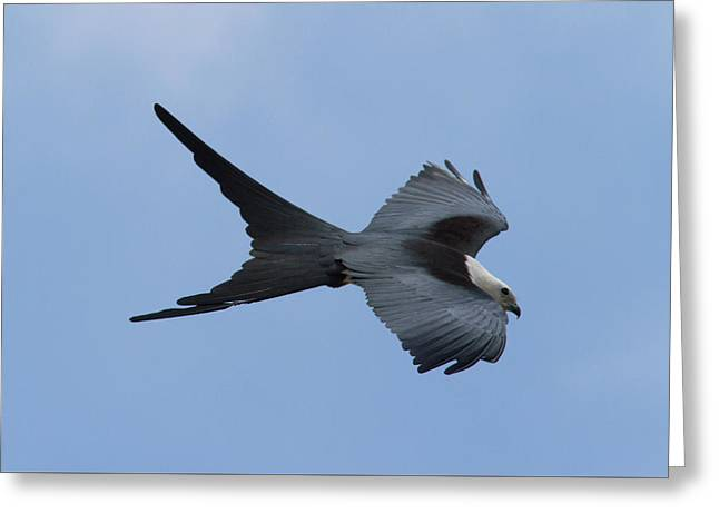 Swallow-tailed Kite #1 Greeting Card by Paul Rebmann