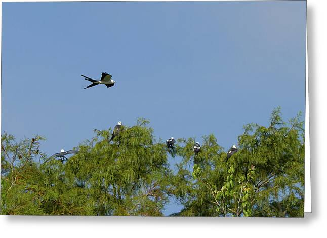 Swallow-tailed Kite Flyover Greeting Card by Paul Rebmann