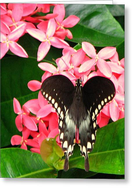 Swallow-wing Butterfly Greeting Card