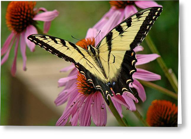 Swallowtail 1 Tn Greeting Card