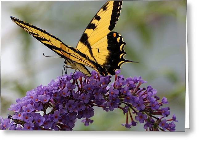 Swallowtail 2 Greeting Card