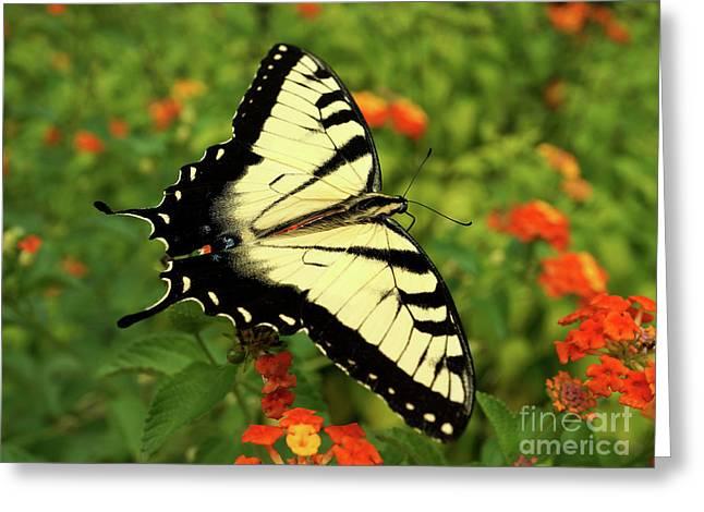 Swallowtail Among Lantana Greeting Card by Sue Melvin