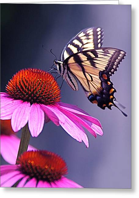 Greeting Card featuring the photograph Swallowtail And Coneflower by Byron Varvarigos