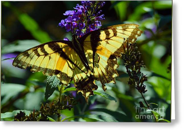 Swallowtail Butterfly #2 Greeting Card by Robyn King