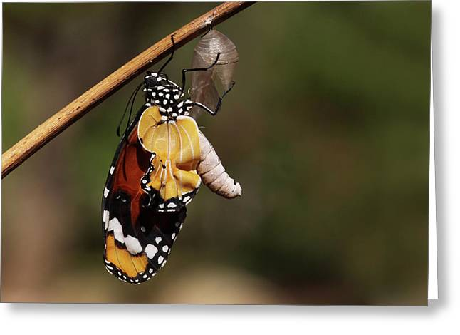 Common Tiger Butterfly Greeting Cards - Swallowtail Butterfly Emerging From Cocoon Greeting Card by Alon Meir