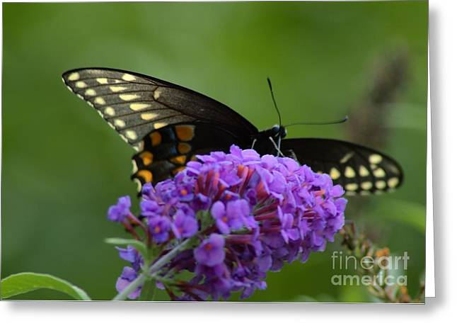 Swallowtail Butterfly Enjoying A Summer Breeze Greeting Card by Robyn King