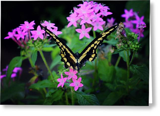 Swallowtail Butterfly Rests On Pink Flowers Greeting Card by Toni Hopper