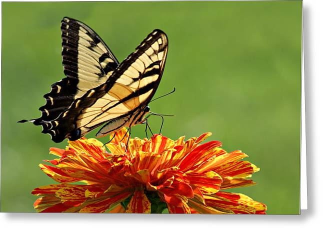 Swallowtail Butterfly - Zinnia Greeting Card